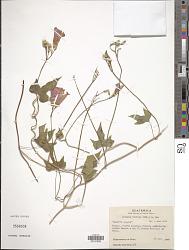Ipomoea trifida (Kunth) G. Don