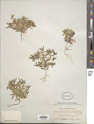 Microsteris micrantha (Kellogg) Greene