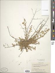 Evolvulus alsinoides (L.) L.