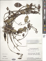 Blepharodon nitidus (Vell.) J.F. Macbr.