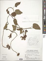 Jacquemontia pentantha (Jacq.) G. Don