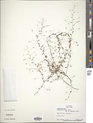 Evolvulus filipes Mart.