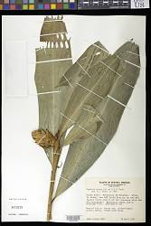 Renealmia cernua (Sw. ex Roem. & Schult.) J.F. Macbr.