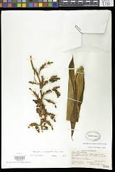 Renealmia aromatica (Aubl.) Griseb.