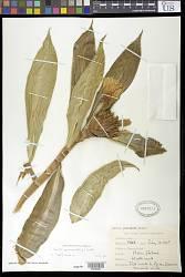 Costus speciosus (J. Koenig) R.M. Sm.