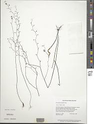 Utricularia hispida Lam.