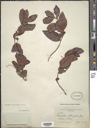 Coccoloba microstachya Willd.