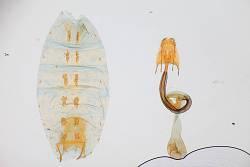 Coleophora euryaula