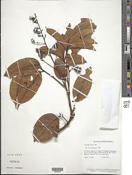 Trichilia cipo (A. Juss.) C. DC.
