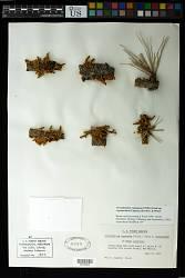 Pinus ponderosa Douglas ex C. Lawson