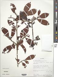 Erythroxylum mucronatum Benth.