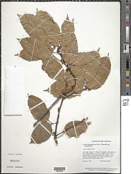 Protium heptaphyllum (Aubl.) Marchand subsp. heptaphyllum