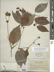 Stigmaphyllon puberum (Rich.) A. Juss.