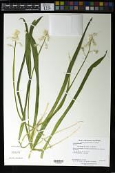 Lycoris sp.