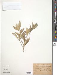 Schaefferia frutescens Jacq.