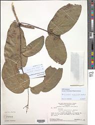 Hylenaea unguiculata Mennega
