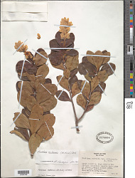 Purdiaea cubensis (A. Rich.) Urb. var. cubensis