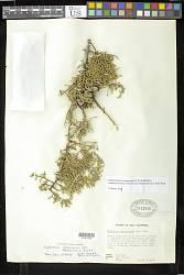 Hesperocyparis stephensonii (C.B. Wolf) Bartel