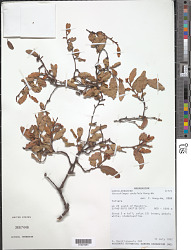 Xerochlamys undulata Hong-Wa
