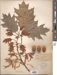 Quercus borealis F. Michx.