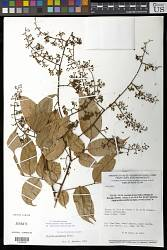 Dialium guianense (Aubl.) Sandwith