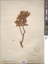 Quercus semecarpifolia Sm.
