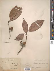 Quercus semiserrata Roxb.