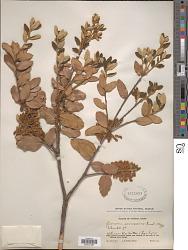 Quercus senescens Hand.-Mazz.