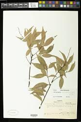 Castanopsis acuminatissima (Blume) A. DC.