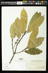 Castanopsis fissa (Champ. ex Benth.) Rehder & E.H. Wilson