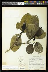 Palicourea imbaburana C.M. Taylor