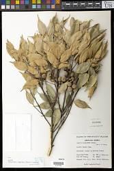 Castanopsis cuspidata (Thunb.) Schottky
