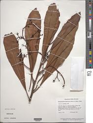 Rhabdodendron amazonicum (Spruce ex Benth.) Huber