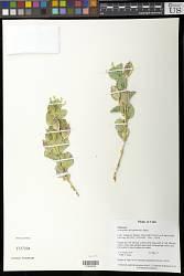 Astragalus asclepiadoides M.E. Jones