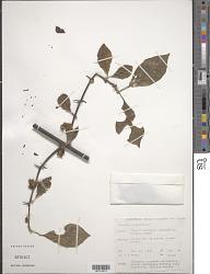 Pisonia aculeata L.