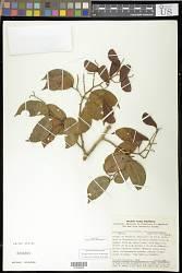 Peltogyne heterophylla M.F. Silva