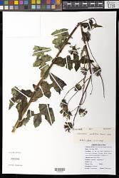 Chaetoseris grandiflora (Franch.) C. Shih