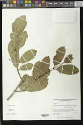 Semialarium mexicanum (Miers) Mennega