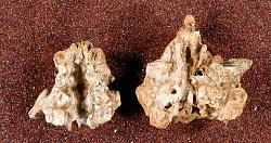 Lutra parvicuspus Gidley & Gazin