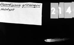 Discordipinna griessingeri Hoese & Fourmanoir