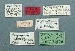 Polychrosis spiraeifoliana