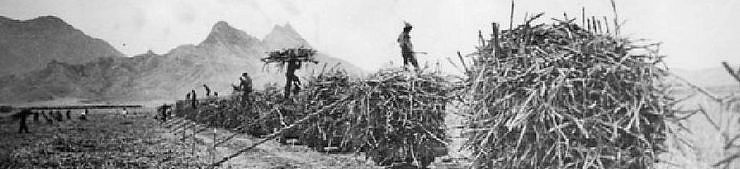 Small flatbed railcars piled high with sugarcane