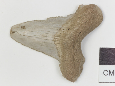 Fossil shark tooth (probably Carcharocles spp.) used as tool to decorate pottery
