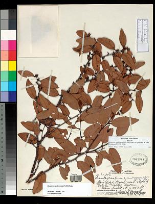 Diospyros sandwicensis var. puberula H. St. John