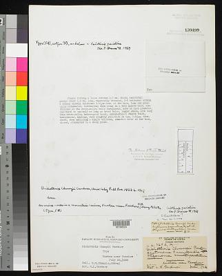 Dichothrix chungii N.L. Gardner