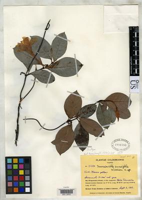 Mandevilla cuneifolia Woodson & R.E. Schult.