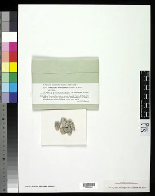 Leciographa malenconiana Llimona & Werner