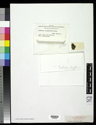 Pannaria leucosticta Tuck. ex Darl.