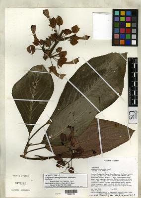 Alloplectus tetragonoides Mansf.
