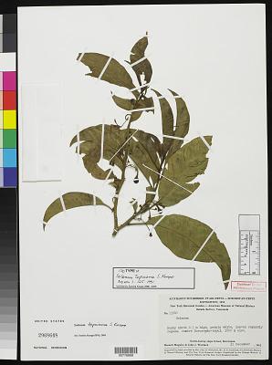 Solanum tepuiense S. Knapp